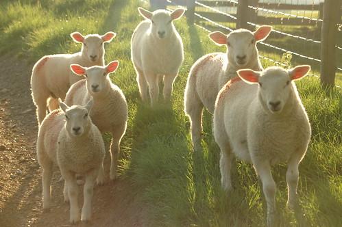 Lamb - 2