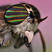 Horse Fly Portrait