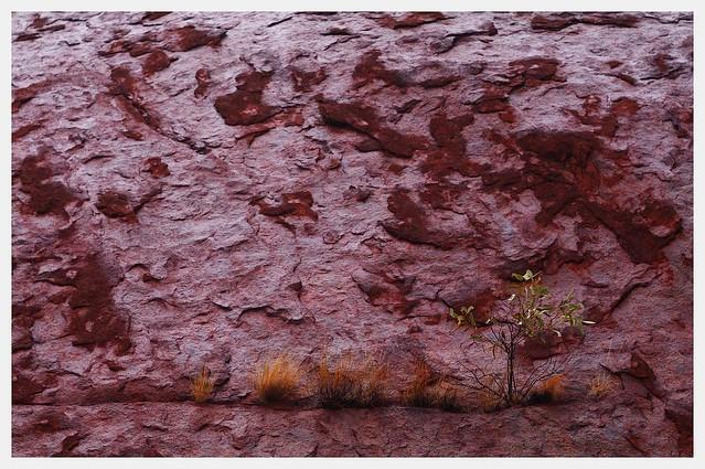 A tree grows on a wet Uluru