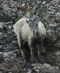 barbary sheep(0.0), mountain goat(0.0), bighorn(0.0), animal(1.0), sheeps(1.0), sheep(1.0), mammal(1.0), fauna(1.0), wildlife(1.0),