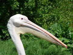 animal, pelican, fauna, ciconiiformes, beak, bird, wildlife,