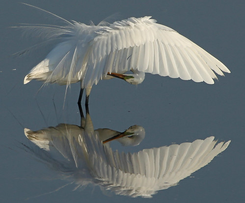Great Egret (Ardea alba) by auburnxc