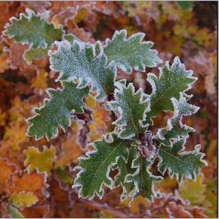 Frostdressed Oakleaves
