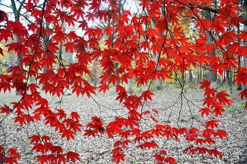 autumn red fall leaves october lace branches curtain momiji japanesemaple hanging backlit 紅葉 drawn cascade acerpalmatum mortonarboretum irohamomiji イロハモミジ smoothjapanesemaple