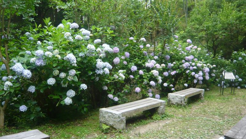 岩船寺の紫陽花 あじさい アジサイ gansenji hydrangea ベンチ