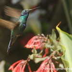 Hummingbird in Action - Chordeleg, Ecuador