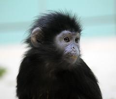 tufted capuchin(0.0), capuchin monkey(0.0), marmoset(0.0), white-headed capuchin(0.0), macaque(0.0), beak(0.0), animal(1.0), monkey(1.0), mammal(1.0), fauna(1.0), spider monkey(1.0), close-up(1.0), old world monkey(1.0), new world monkey(1.0), wildlife(1.0),