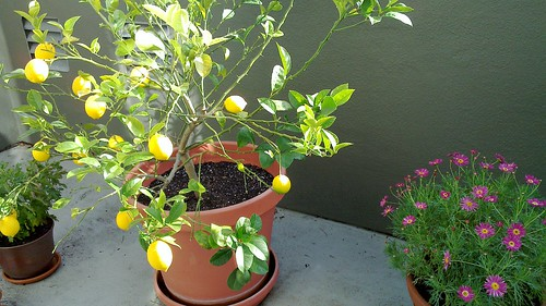Mini Zitronenbaum