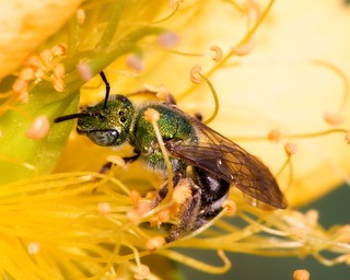 Sweat Bee (Agapostemon virescens)