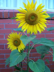 asterales, annual plant, sunflower, flower, yellow, flora, green, petal,
