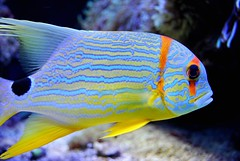 animal, fish, yellow, fish, coral reef fish, organism, marine biology, macro photography, fauna, close-up, underwater, blue, pomacentridae, pomacanthidae,