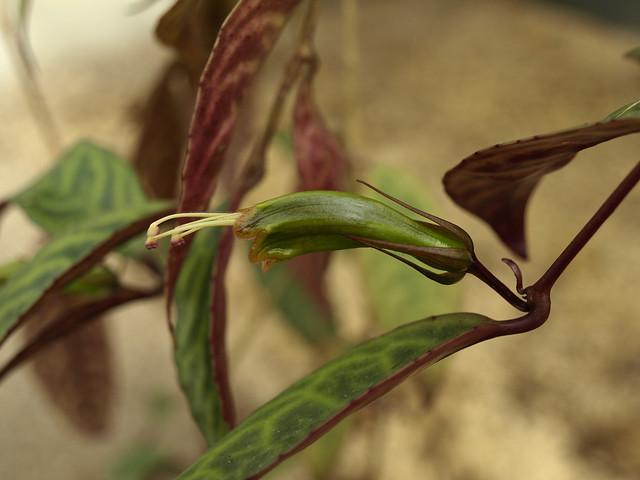Header of Aeschynanthus longicaulis