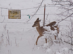 Deer in Shawnee Mission Park, 6 Feb 2010