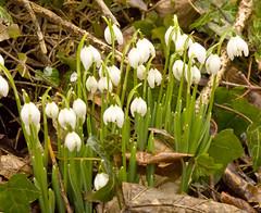 erythronium(0.0), garden(0.0), flower(1.0), plant(1.0), galanthus nivalis(1.0), wildflower(1.0), flora(1.0),