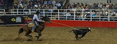 animal sports, rodeo, chilean rodeo, equestrian sport, tradition, sports, horse harness, performance,