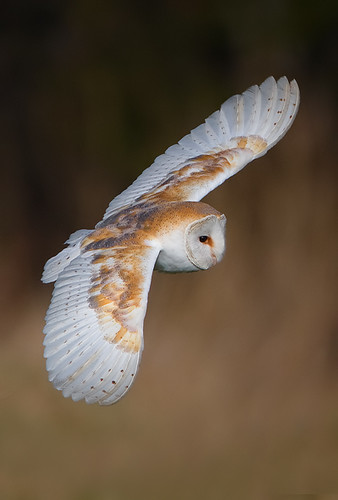 Barn Owl - MG_3641