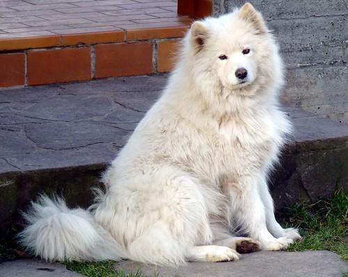 Samoyed dog  (Самоедская собака)