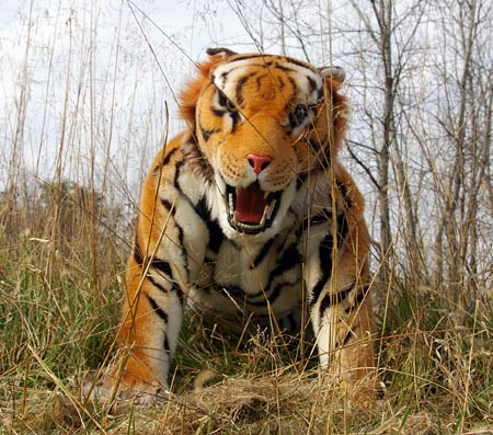 Realistic Tiger costume | Flickr - Photo Sharing!Realistic Tiger Costume