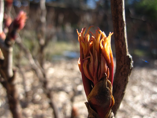 A Tree Peony bud begins to unfurl on a sunny March day at BBG. Photo by Rebecca Bullene