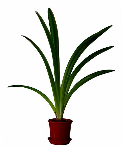 Planta en maceta de amaryllis a photo on flickriver for Fotos de plantas en macetas