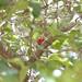 Small photo of Acerola
