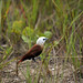White-headed Munia - Photo (c) bob|P-&-S, some rights reserved (CC BY-NC-SA)