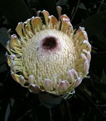 produce(0.0), floristry(0.0), cactus family(0.0), flower(1.0), yellow(1.0), plant(1.0), flora(1.0), protea(1.0),