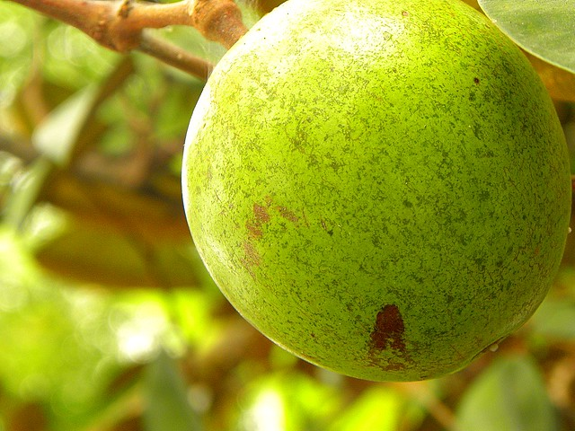 Star Apple Fruit | Flickr - Photo Sharing!