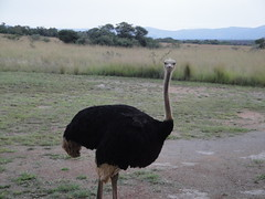 animal, ostrich, flightless bird, fauna, bird, ratite, wildlife,