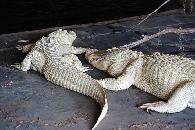 Alligators Myrtle Beach State Park