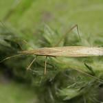 szőröscsápú szúnyogpoloska - Berytinus hirticornis