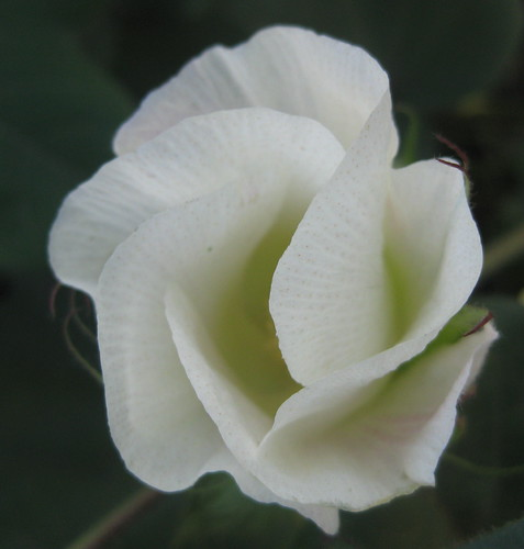 cotton flower 2