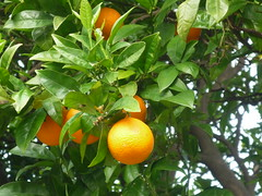 evergreen, calamondin, citrus, kumquat, yuzu, fruit, food, tangelo, bitter orange, tangerine, mandarin orange,