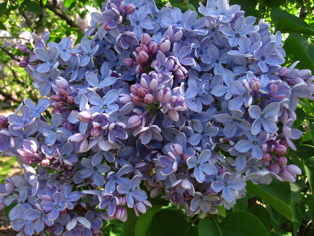 Syringa vulgaris 'Firmament' blooms big in the Louisa Clark Spencer Lilac Collection at BBG. Photo by Rebecca Bullene.