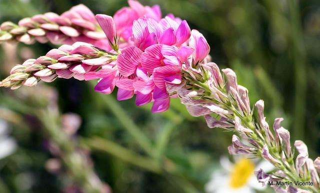 Sparceta, pipirigallo, Familia leguminosae, &q…  Flickr  Ph
