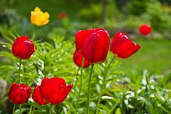 Kulionių tulpės