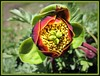 Brown's Peony - Photo (c) Jeff Moser, some rights reserved (CC BY-ND)