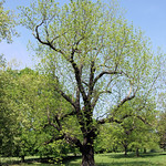 The Black Walnut Tree Of Marble Hill Park, London.