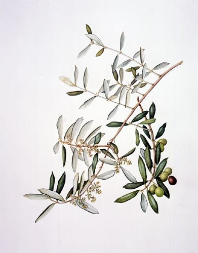 Eleanor I. Rohrbaugh, Olea europea Watercolor, 10/17/02 © Copyright Brooklyn Botanic Garden