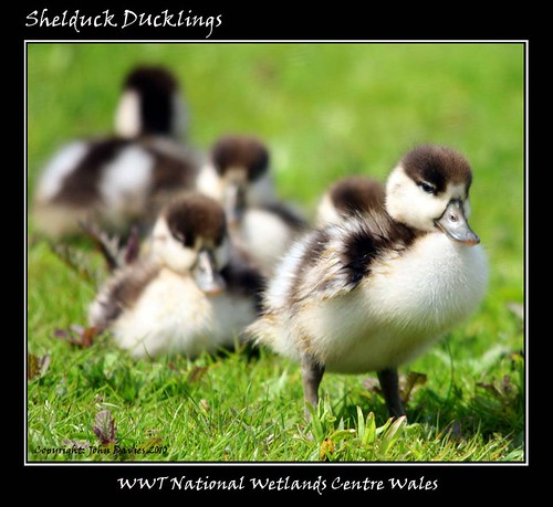 Shelduck ducklings