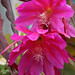 Epiphyllum 'Space Rocket'