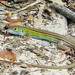 Six-lined Racerunner - Photo (c) tom spinker, some rights reserved (CC BY-NC-ND)