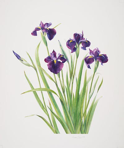 "Constance Sayas, Iris ensata, 2006.  Watercolor on Arches hot press, 20"" × 16"".  © Copyright Brooklyn Botanic Garden"