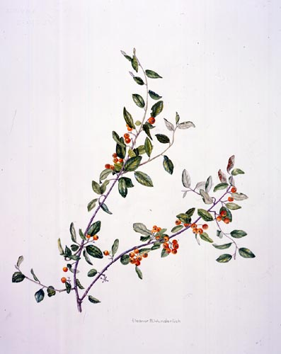 Eleanor Wunderlich, Cotoneaster franchetii Watercolor  © Copyright Brooklyn Botanic Garden