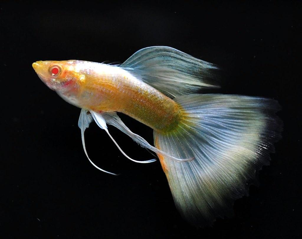 Apwf fancy guppy page 5 arofanatics fish talk forums for Fancy guppy fish