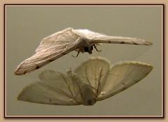 Mirror Moth
