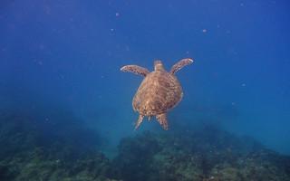 海龜終生都生活在海底。(攝影:潘佳修)