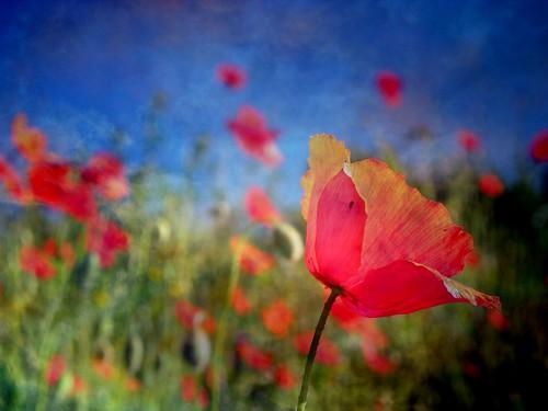 Papaver rhoeas ✽ Field of Poppies ✽ Le Champ de Coquelicots (à la manière de...).