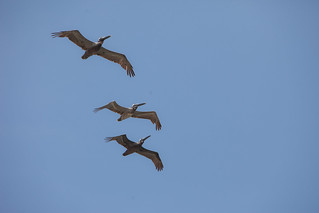 A small flock of Brown Pelicans in Dauphin Island, Alabama – TEDx Oil Spill