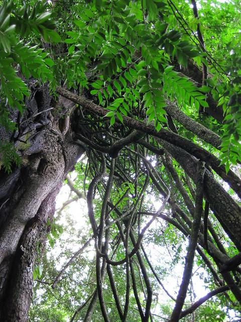 Jungle vines | Flickr - Photo Sharing!